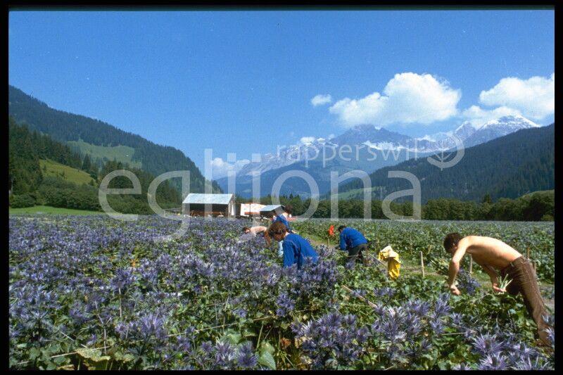 """1985: In den 80er und 90er-Jahren kultivierten die Egli's die geschützte Alpenblume """"Blaudisteln"""" in den Schweizer Alpen. Geschnitten landete die herrliche Alpenblume dann an der Blumenbörse in Alsmeer in Holland und wurde von da in die ganze Welt verkauf"""